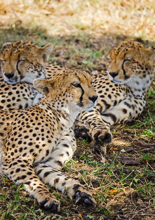 Leopard in their natural habitat in the African savannah. The predator of the cat family
