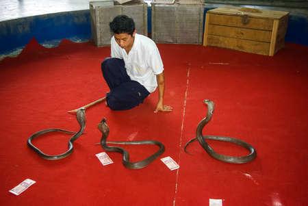 Phuket, Thailand - June 13, 2013: Cobra training, performance with trained cobras snake trainer