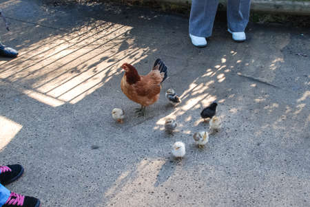 Chicken with chickens walks on the asphalt among people. Homemade chicken hatch brood.