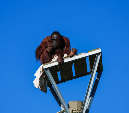 An orangutan climbed onto a pillar and sits there, looking down.