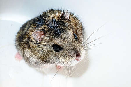 Gray hamster on a white background, domestic rodent hamster.