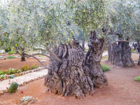 Olive tree in a park in jerusalem. Olive tree in a park in jerusalem. Archivio Fotografico