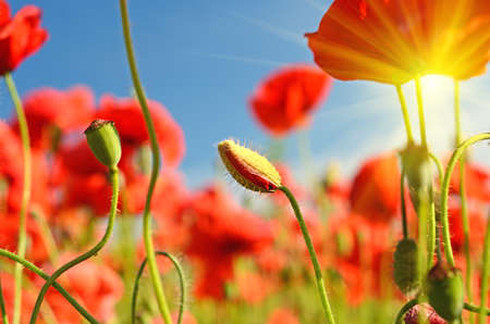 opium: Beautiful poppies bloom and buds amidst poppy fields