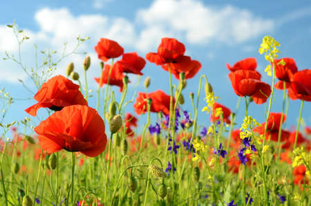 Scenic landscape with flowers poppies against the sky with clouds (rest, relaxation, meditation, stress relief - concept)