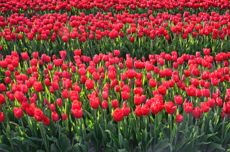 midst: Flowers tulips midst of tulip fields (natural background) Stock Photo