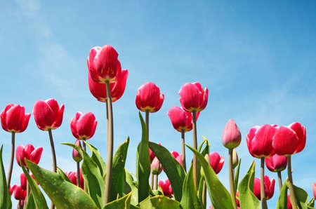 tulip: Beautiful flowers tulips against the sky (relaxation, meditation, stress management - concept)