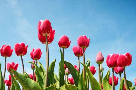 tulipan: Piękne kwiaty tulipany na tle nieba (relaksacja, medytacja, zarządzanie stresem - koncepcja)