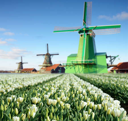 holland landscape: Fabulous landscape with tulips and aerial mill on the channel in Zaanse Schans, Holland