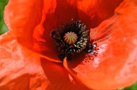 opium poppy: The core of poppy flower with stamens closeup Stock Photo