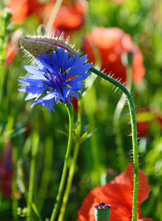 poppy field: Beautiful bud of poppy and cornflower close up middle of a field of poppies Stock Photo