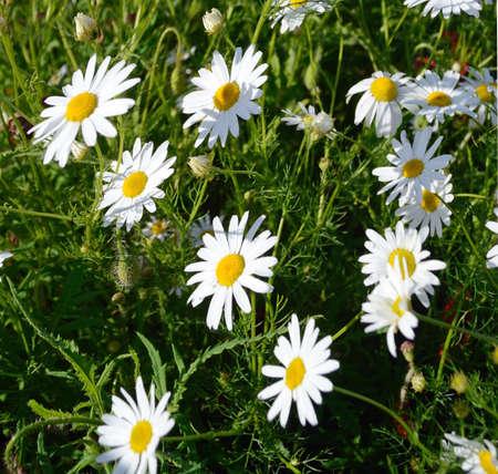opium: Beautiful daisies