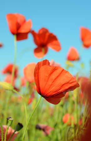 opium: Beautiful poppy flower against the sky in pastel colors