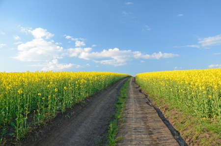 midst: Road to heaven in the midst of rape field