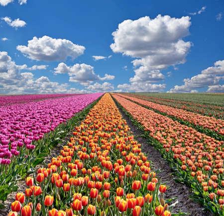 tulipan: Fantastyczny krajobraz z kolorowych kwiatów tulipanów na tle nieba (relaksacji, medytacji, redukcji stresu, tło - koncepcja)