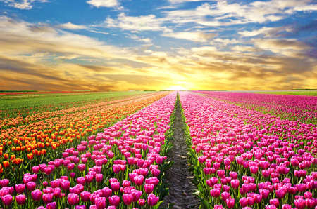 sunbeam: A magical landscape with sunrise over tulip field in the Netherlands