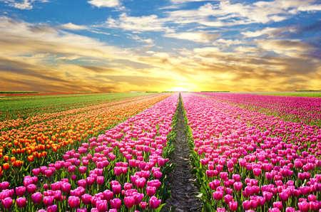 tulip: Magiczny krajobraz z zachodem słońca nad pola tulipanów w Holandii Zdjęcie Seryjne