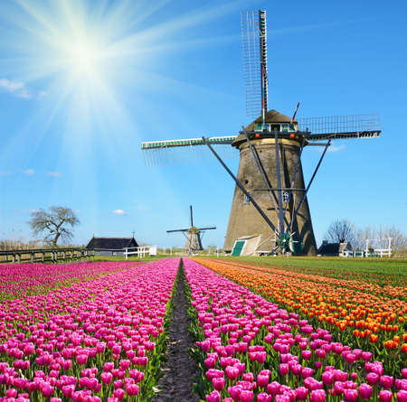 Fabulous landscape of Mill wind and tulips in Holland on a sunny day (relaxation, meditation, stress reduction, background - concept)
