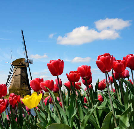 historical romance: Fabulous landscape of Mill wind and tulips in Holland