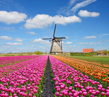 tulips field: A magical landscape of tulips and windmills in the Netherlands. (Relaxation, meditation, anti-stress - concept)