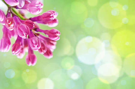 tulipan: Natural Spring tła z bzu i bokeh efekt za pozdrowienia z okazji Valentine lub ślubu w pastelowych kolorach (08 marca 14 Luty, Wielkanoc). Zdjęcie Seryjne