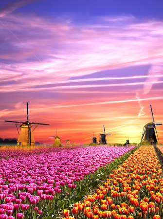 Magical landscapes with windmills and tulips at sunrise in the Netherlands Stock Photo