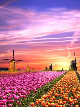 Magiczne krajobrazy z wiatraków i tulipanów na wschód słońca w Holandii