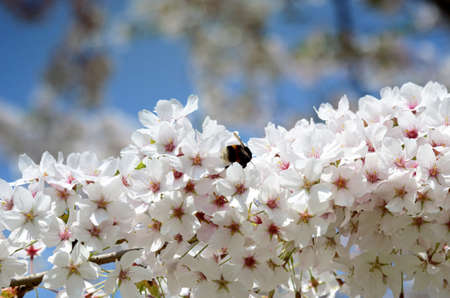 drumstick tree: Bumblebee in blossom of cherry tree against the sky Stock Photo