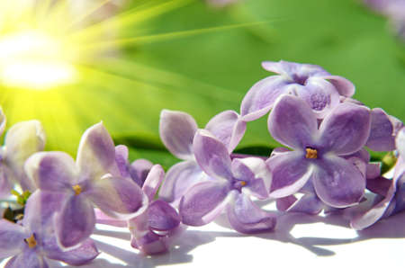 fragrant bouquet: Lilac flowers in sunlight close up Stock Photo