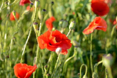 opium poppy: Fantastic landscape with poppies in the field