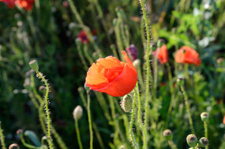 poppy field: Poppy flower in field