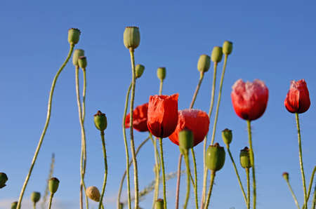 opium poppy: Fantastic landscape with poppies in the field against the sky