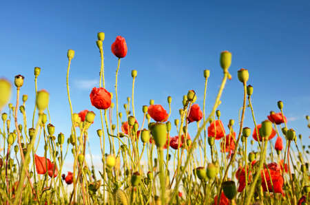 opium: Fantastic landscape with poppies in the field against the sky in sunset