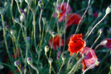 opium poppy: The original aspect of poppies in the field (sperm, fertilization, pheromones - concept)