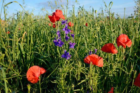 opium: Fantastic landscape with poppies in the field against the sky