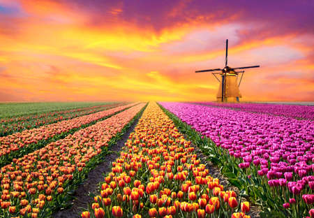 A magical landscape with sunrise over tulip field in the Netherlands (relaxation, meditation, stress management - concept) Stok Fotoğraf