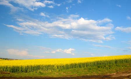 oil rape: Big cloud on blue sky over yellow rape field Stock Photo