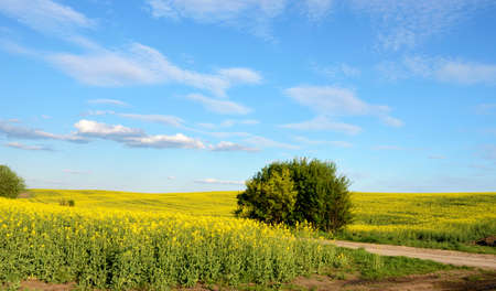 biodiesel: Beautiful landscape with lonely bush in yellow rape field and blue sky in the clouds (appeasement, biodiesel, grace - concept)