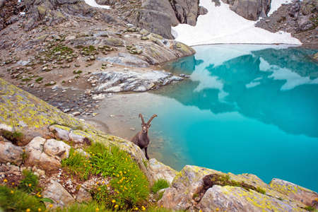 massif: Mountain goat near Emerald Lake in the French Alps near the Lac Blanc massif Stock Photo