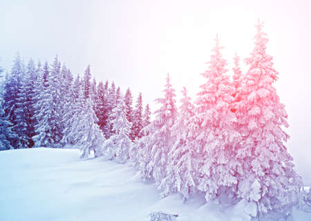 wintery: Mystical winter landscape of trees in sunlight (New Year, travel, Harmony - concept)