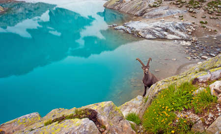 Mountain goat near Emerald Lake in the French Alps near the Lac Blanc massif Stock Photo