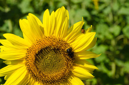 Chairman of the sunflower and a bee and Coccinellidae Stock Photo