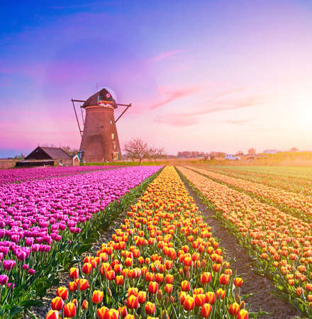 Magic fascinating picture of beautiful windmills spinning in the midst tulip field in Kinderdijk, Netherlands, Europe at dawn.