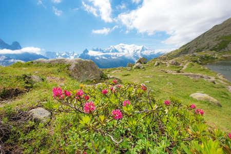 Fleurs Rhododendron sur fond de Mont Blanc dans les Alpes françaises, l'Europe. La Blanc Banque d'images - 76975201