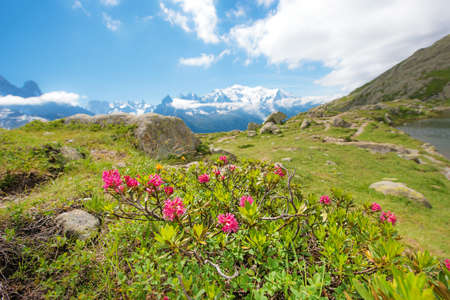Rhododendron flowers against the backdrop of Mont Blanc in the French Alps, Europe. La Blanc Stock Photo
