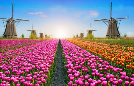 Incredibly beautiful cauliflower spring landscape with flowers and air Mill in Holland, Europe at dawn. (harmony, relaxation, anti-stress, meditation - concept).