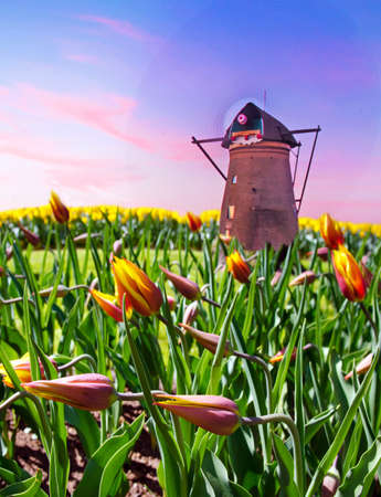 Beautiful spring landscape with fabulous beds of flowers and windmills in the Netherlands, Europe (harmony, relaxation, anti-stress, meditation - concept).