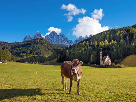 Beautiful landscape with a cow in the valley of Santa Magdalena, Italy, Europe, Dolomites