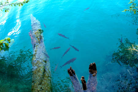 Abstract beautiful picture with fish gossip in clear clear water in a lake in a national park in Plitvice, Croatia.