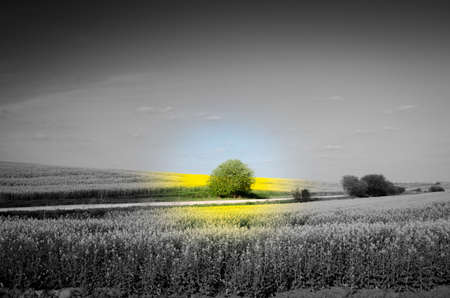 Lonely bush on the background of colored sky and rape in the middle of a black and white field (ecology, pollution, pesticides, nitrates, destruction of nature, crisis, decay - concept)