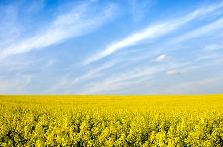 Charming spring landscape with yellow rape against blue sky background